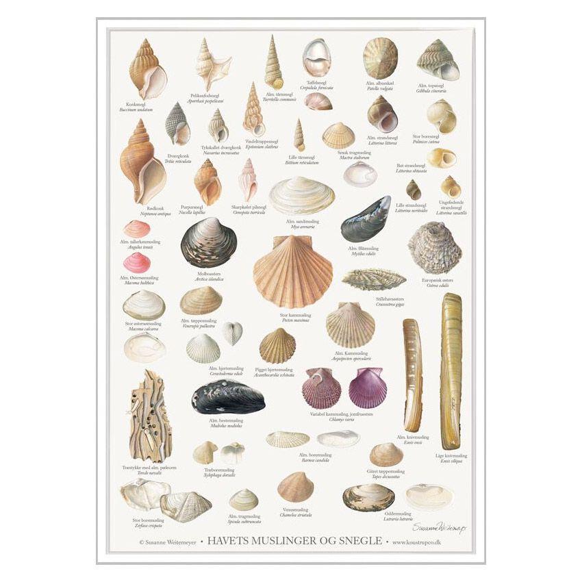 Havets Muslinger og Snegle Plakat A2   Havets Muslinger og Snegle Plakat A2