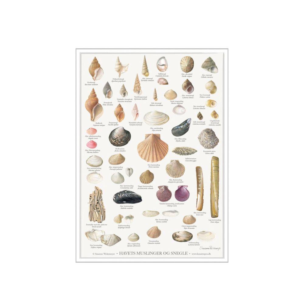 Havets Muslinger og Snegle Plakat A4