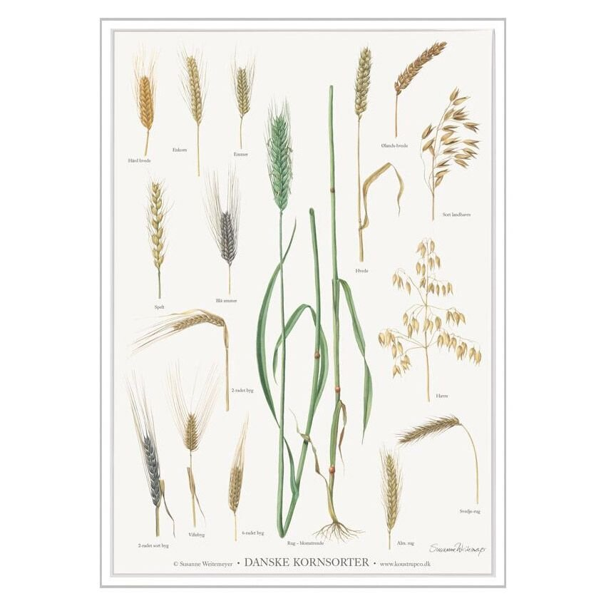 kornblomster plakat A4
