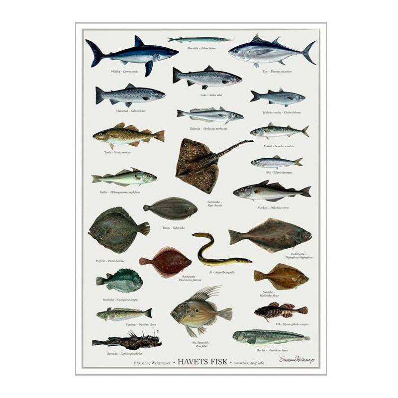 Plakat med havets fisk fra Koustrup Olisan.dk