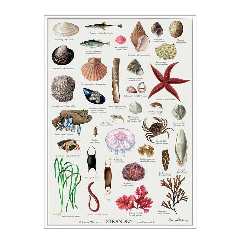 Plakat med ting du finder  på stranden A2
