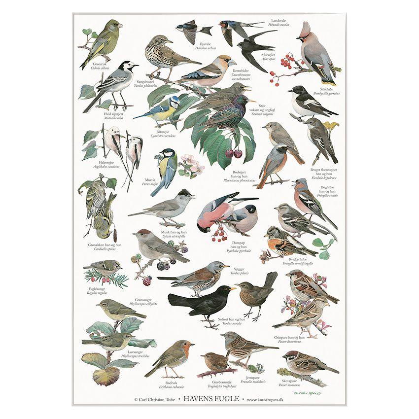 Plakat med havens fugle A2